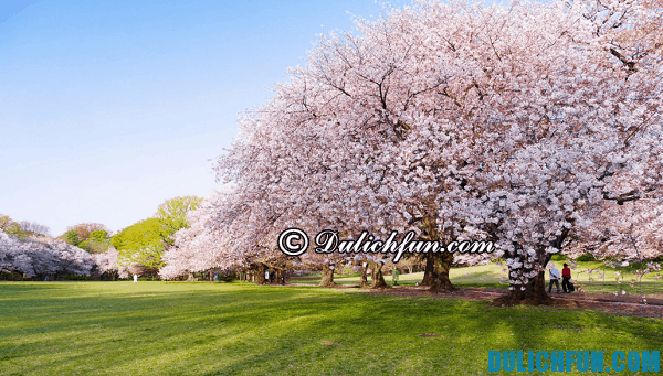 Những điểm ngắm hoa anh đào đẹp nhất Tokyo: vườn hoa anh đào lãng mạn ở Tokyo