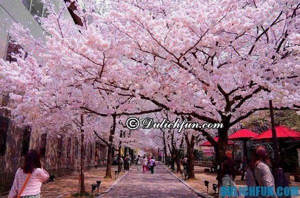 Địa điểm ngắm hoa anh đào nổi tiếng ở Tokyo: Con đường hoa anh đào rực rỡ ở Tokyo