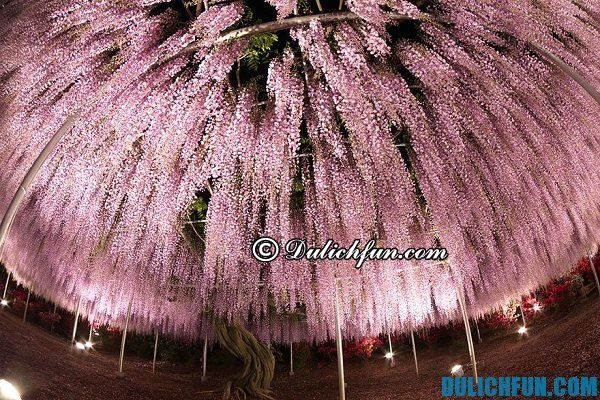Công viên hoa tử đằng nổi tiếng Nhật Bản. Ngắm hoa tử đằng ở đâu Nhật Bản đẹp