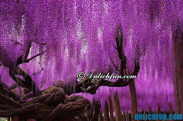 Ngắm hoa tử đằng ở đâu Nhật Bản? Vườn hoa tử đằng chụp ảnh đẹp ở Nhật Bản