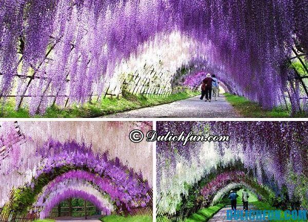 Vườn hoa tử đằng đẹp ở Nhật Bản: Địa chỉ ngắm hoa tử đằng nổi tiếng Nhật Bản