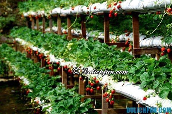 Vườn dâu đẹp nên tới ở Đà Lạt: Những vườn dâu tây độc đáo, nhiều quả ở Đà Lạt