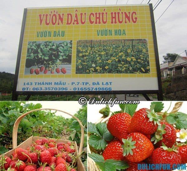Vườn dâu tây đẹp nhất Đà Lạt: Đà Lạt có vườn dâu tây nào nổi tiếng nhất