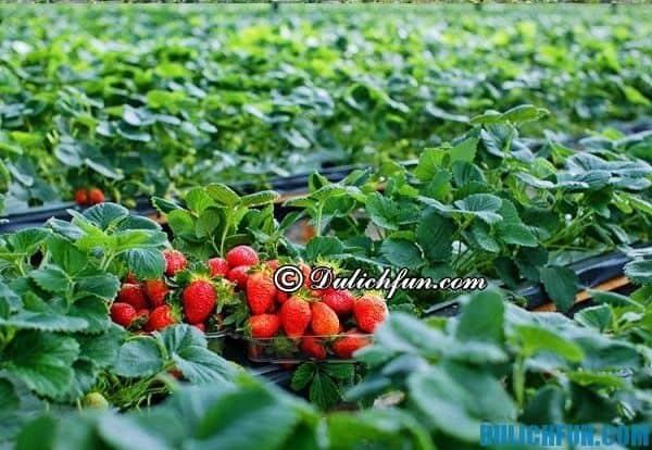 Vườn dâu tây nên tới khi du lịch Đà Lạt: Địa chỉ các vườn dâu tây có cảnh đẹp ở Đà Lạt