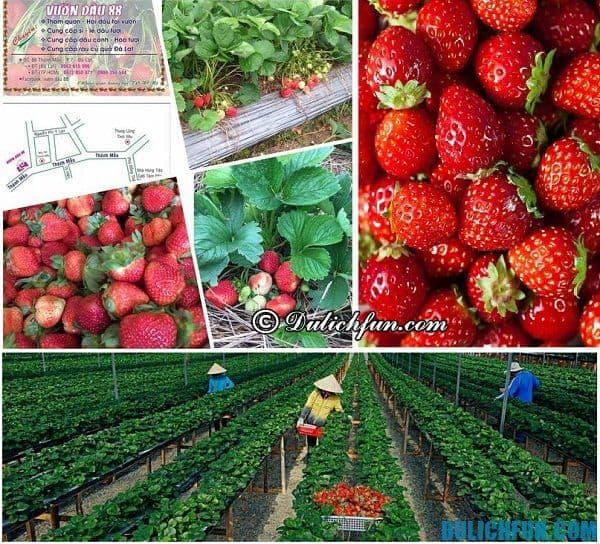 Những vườn dâu tây đẹp, nổi tiếng Đà Lạt: Địa chỉ các vườn dâu tây giá rẻ, chụp ảnh đẹp ở Đà Lạt