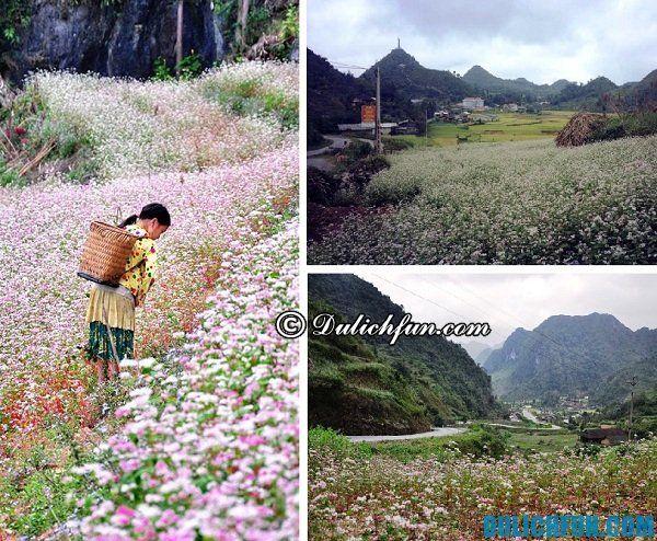 Kinh nghiệm đi Hà Giang mùa tam giác mạch: Thời điểm hoa tam giác mạch nở rộ ở Hà Giang