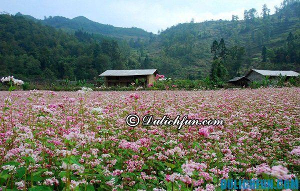 Kinh nghiệm du lịch Hà Giang mùa tam giác mạch: Thời gian hoa tam giác mạch nở đẹp nhất ở Hà Giang