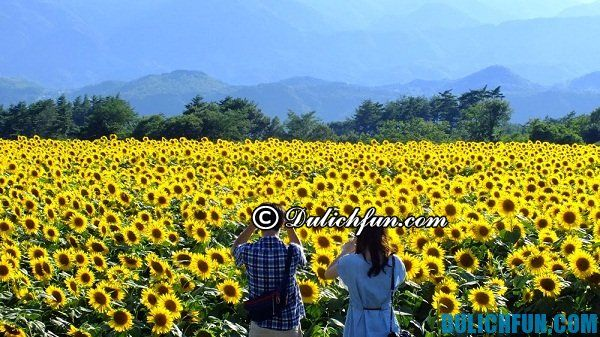 Du lịch vườn hoa hướng dương ở Nghĩa Đàn chơi gì vui? Cảnh đẹp của vườn hoa hướng dương Nghĩa Đàn, Nghệ An