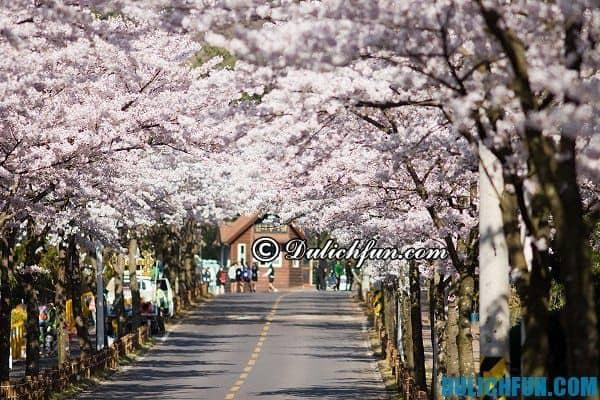 Các lễ hội hoa anh đào ở Hàn Quốc. Kinh nghiệm du lịch Hàn Quốc mùa hoa anh đào