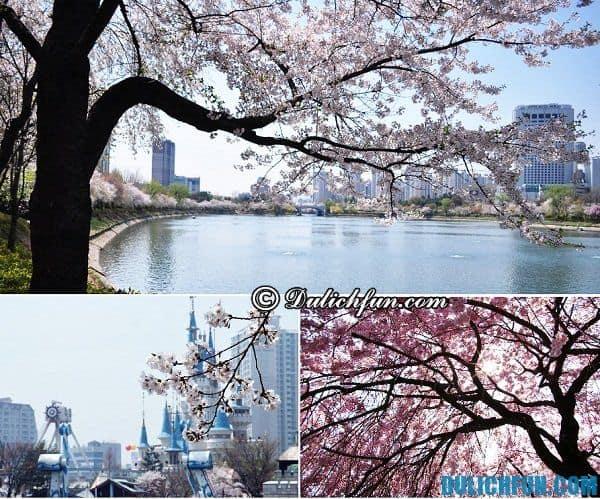 Các lễ hội hoa anh đào ở Hàn Quốc. Hàn Quốc tổ chức lễ hội hoa anh đào khi nào, ở đâu?