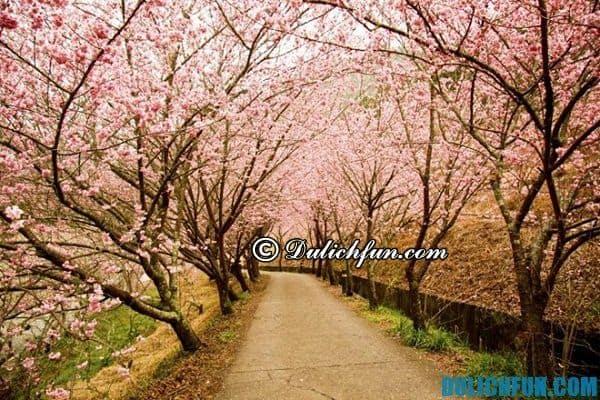 Các lễ hội hoa anh đào ở Hàn Quốc: Địa điểm diễn ra lễ hội hoa anh đào ở Hàn Quốc và thời gian diễn ra lễ hội