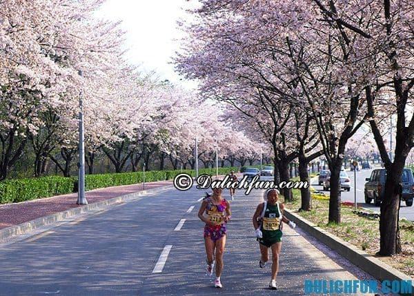 Kinh nghiệm du lịch Hàn Quốc mùa hoa anh đào. Các lễ hội hoa anh đào lớn nhất ở Hàn Quốc