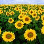 Vườn hoa hướng dương Nghĩa Đàn, Nghệ An ở đâu? Thông tin cụ thể, chi tiết về vườn hoa. du lịch vườn hoa hướng dương ở Nghĩa Đàn