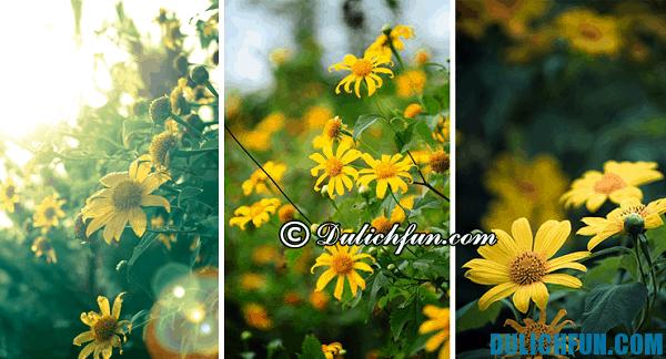 Du lịch Đà Lạt mùa hoa dã quỳ: Hoa dã quỳ nở vào thời gian nào? Thời điểm ngắm hoa dã quỳ đẹp nhất ở Đà Lạt