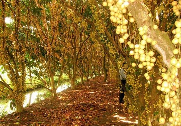 Kinh nghiệm đi vườn trái cây Trung An thỏa sức ăn uống. Hướng dẫn, cẩm nang du lịch vườn trái cây Trung An: đường đi, ăn uống...