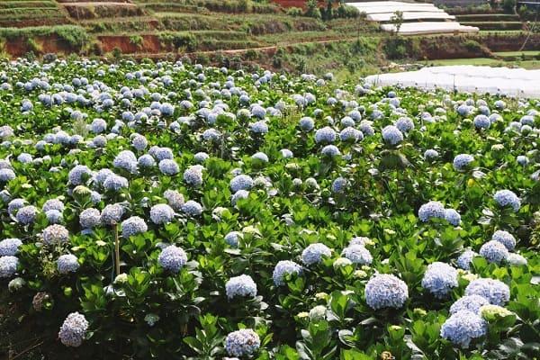 Địa chỉ vườn hoa cẩm tú cầu ở Đà Lạt cụ thể dễ đi. Hướng dẫn đường đi, địa chỉ, thời gian tới thăm vườn hoa cẩm tú cầu, Đà Lạt đẹp