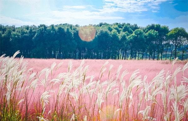 Kinh nghiệm du lịch đồi cỏ hồng Đà Lạt - Khám phá lễ hội. Hướng dẫn, cẩm nang đi đồi cỏ hồng Đà Lạt đường đi, thời điểm, lễ hội...