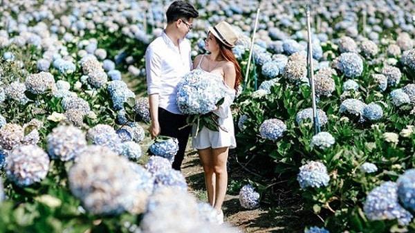 Địa chỉ vườn hoa cẩm tú cầu ở Đà Lạt: đường đi, giá vé
