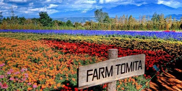 Kinh nghiệm du lịch nông trại Tomita thăm đồng hoa lavender. Hướng dẫn du lịch nông trại Tomita cụ thể thời điểm, đường đi.