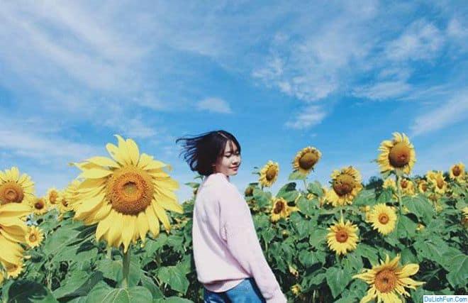 Những cánh đồng hoa hướng dương đẹp nhất Việt Nam. Địa điểm ngắm hoa hướng dương đẹp, ở nước ta nên tới kèm chỉ đường, giá vé...