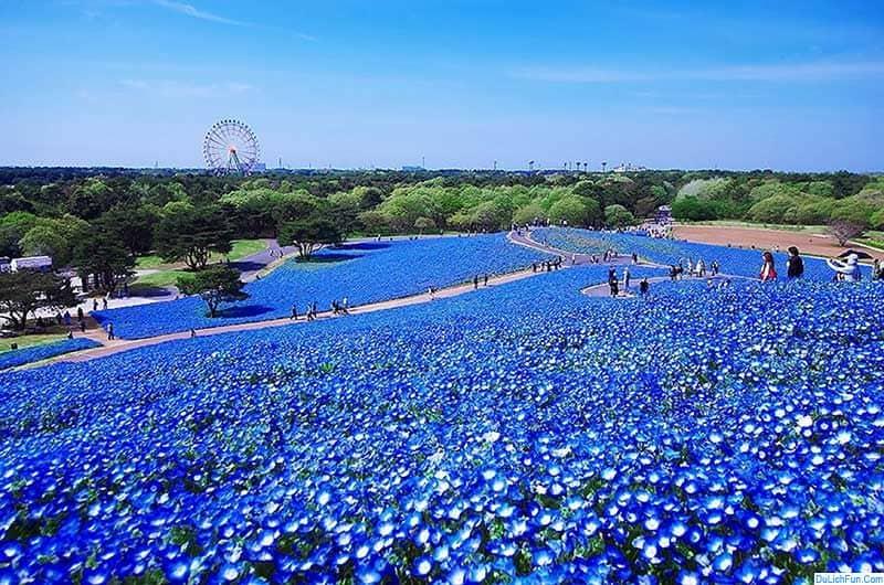 Hướng dẫn tham quan công viên Hitachi Seaside Park cụ thể. Kinh nghiệm du lịch công viên Hitachi chi tiết, đường đi từ Tokyo...
