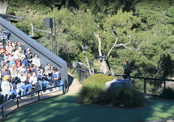 Hướng dẫn đi du lịch vườn thú Taronga Sydney Úc. Xem biểu diễn chim ở vườn thú Taronga Sydney