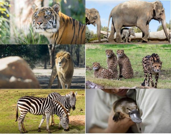 Vườn thú Taronga Sydney Úc ở đâu, có gì, giá vé, giờ mở cửa? Review sở thú Taronga Sydney