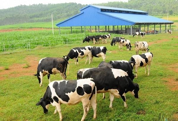 Kinh nghiệm phượt Mộc Châu nên đi đâu, thăm Trang trại bò sữa Mộc Châu