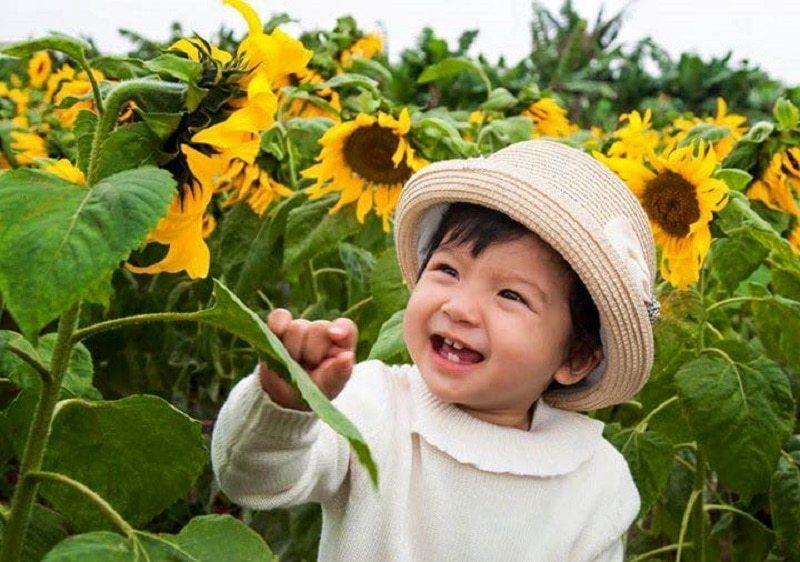 Cánh đồng hoa hướng dương ở Đông Anh, Hà Nội
