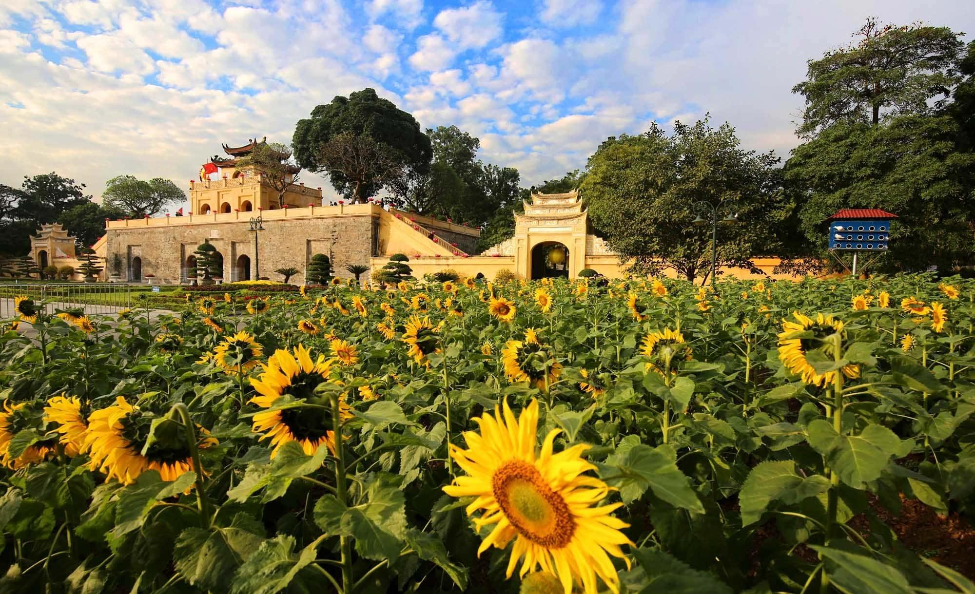 Vườn hoa hướng dương tại Hoàng Thành Thăng Long, Hà Nội