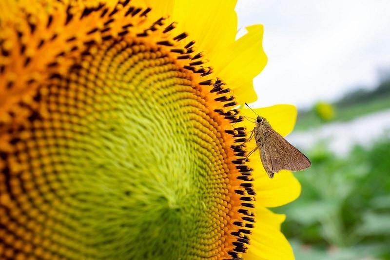 Những cánh đồng hoa hướng dương ở Hà Nội đẹp mỹ mãn. Hà Nội có cánh đồng hướng dương nào không? Địa chỉ cánh đồng hoa hướng dương HN